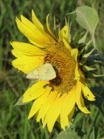 Sunflower photo © 2010 Susan Walker Bryant